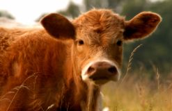 The face and upper body of brown cow stock image