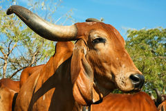 The face and upper body of a Indian golden cow Stock Photography