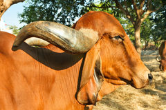 The face and upper body of a Indian golden cow Royalty Free Stock Photography