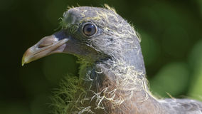 Face of a very young common wood pigeon Stock Images