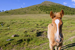 The face of a very young foal Royalty Free Stock Image
