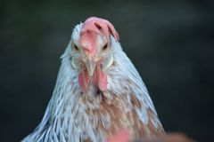 A face on view of a very grumpy chicken stock images