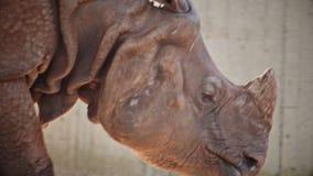 Face of walking rhinoceros stock footage
