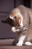 Face wash a cat Royalty Free Stock Photography