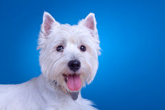 Face of a westie stock images