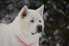 Face of White Akita with Snowy Background and Pink Collar Stock Images