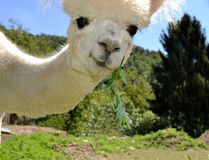 Beautiful portrait of a face of a white alpaca watching us. royalty free stock image