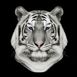 Face of a white bengal tiger Royalty Free Stock Photo