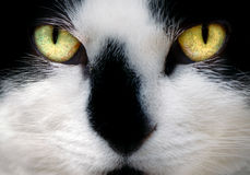 Face of White and Black Cat Stock Photography