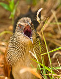 The face of the White-browed Coucal Royalty Free Stock Photos