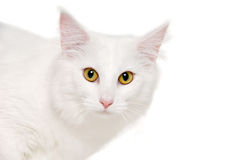 Face of a white cat Stock Photos
