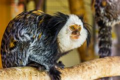 The face of a white headed marmoset in closeup, a tropical monkey from brazil, popular zoo animals stock image