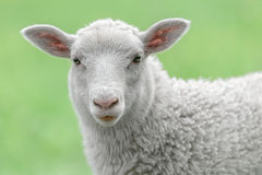 Face of a white lamb. Looking at you with bright green background Stock Images