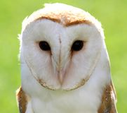 Face of a white OWL  in the forest Stock Photo