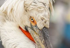Face of white pelican. Closeup, isolated. Royalty Free Stock Photo