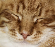 Face of white red stripped cat with half-closed eyes royalty free stock photo