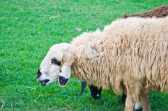Face of white sheep Royalty Free Stock Image