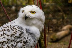 The face of a white snowy owl in closeup, beautiful arctic bird, vulnerable animal specie from Eurasia. The face of a white snowy owl in closeup, a beautiful stock images