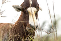 Face of Wild Blesbok Standing Amongst Tall Grass Royalty Free Stock Photo