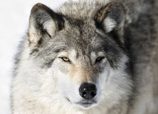 Face of wild wolf Royalty Free Stock Photography