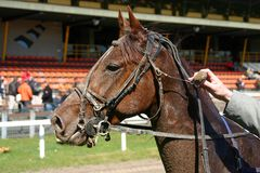 Face of the winner. A race horse after the race, spotted with mud Stock Photography