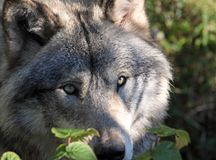 Face of wolf. Face of timber wolf in nature Stock Images