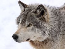 Face of wolf Stock Photography