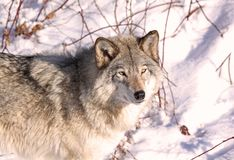 Face of wolf. Wolf in nature during winter Stock Photography