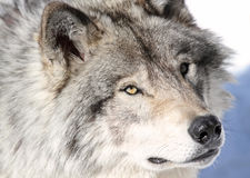 Face of wolf. Face of gray wolf in nature Royalty Free Stock Photo