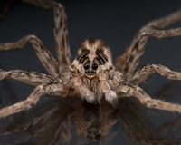 Face of a Wolf Spider Royalty Free Stock Image
