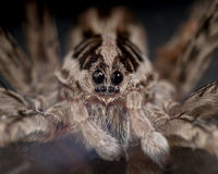 Face of a Wolf Spider Royalty Free Stock Photos