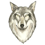 Face of wolf. Watercolor vector  illustration on white background Stock Photos