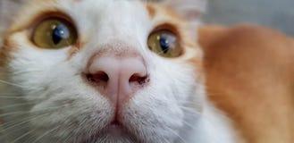 Wondering orange and white cat is gazing something. Close up on its face. Face of wondering orange and white cat gazing something. Close up royalty free stock image