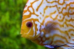 Face yellow discus stock photos