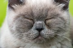 Face of a young british shorthair cat royalty free stock images