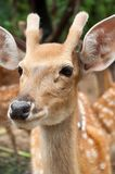 Male sika deer. Face of young male sika deer Stock Photo