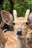 Male sika deer. Face of young male sika deer Stock Photography