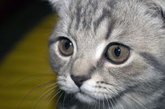 The face of a young Scottish fold cat royalty free stock photography