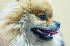 The face of a young Spitz. Stock Photography