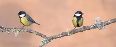 Faced. Two tits perched on a branch of a tree Stock Images