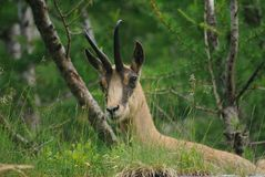Faced with a chamois Royalty Free Stock Image