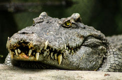 Faceing Crocodile. A crocodile tbatvis watching at you Royalty Free Stock Photography