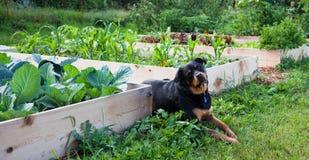 Facendo il giardinaggio con l'migliore amico dell'uomo fotografie stock libere da diritti