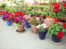 Facendo il giardinaggio, fiori, concetto della decorazione - molti fiori in vasi da fiori Fotografie Stock