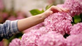 Facendo il giardinaggio nei cespugli dell'ortensia Le ragazze passano tocca il mazzo nel giardino del paese La donna è giardinier stock footage