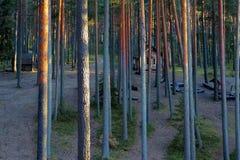 Facendo un'escursione nella foresta del pino Immagine Stock