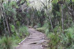 Facendo un'escursione nella giungla di Kilimanjaro Fotografia Stock