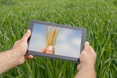 Facendo uso della compressa sul giacimento di grano Agricoltura moderna Futures c del grano Fotografia Stock