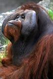 Faces. Orangutan making faces at the Dublin Zoo royalty free stock image