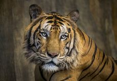 Faces of Asian tigers. Colorful patterns and faces of Asian tigers royalty free stock image
